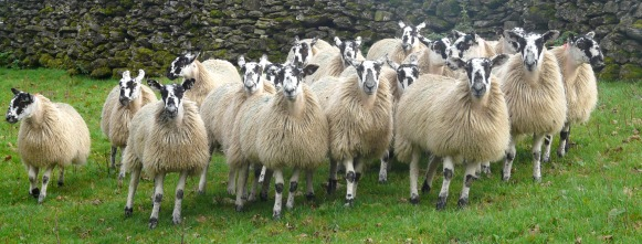 Sheep mob