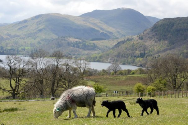 Herdwick Sheep in Lake District