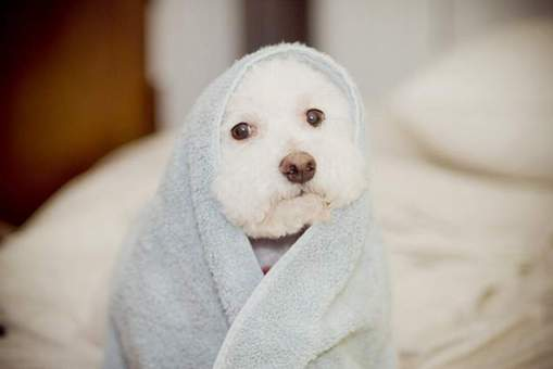 Puppy in a towel